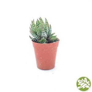 """HAWORTHIA Coarctata Mini 1.75"""" pot #3717"""